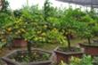 Vườn chanh vàng tứ quý bonsai 'bung lụa' chờ khách rinh về chưng Tết