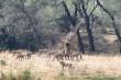 Video: Bầy sư tử hợp sức quật ngã hươu cao cổ