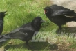 Những con quạ 'thành tinh' biết nói tiếng người ở Hải Phòng