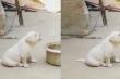 Clip: Chó con lạc giọng vì mải nghe gà gáy