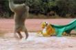 Clip: Chú khỉ tò mò nhảy dựng lên khi  thấy hổ giả