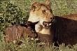 Video: Linh dương đầu bò con nhận sư tử săn mồi làm mẹ