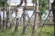 Ảnh: Những cây xà cừ cổ thụ ở Hà Nội chết khô sau khi đánh chuyển