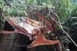 Hàng loạt cây cổ thụ ở Trà Nú bị lâm tặc chặt hạ: Khởi tố vụ án hình sự