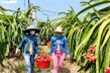 Đại dịch corona: Thách thức để nông sản Việt tự 'tìm đường', không còn 'bấu víu' vào Trung Quốc