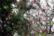 Kỳ lạ, hoa đào nở khi chớm thu