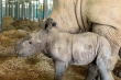 Thêm một con tê giác quý chào đời ở Vinpearl Safari Phú Quốc