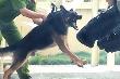 'Đột nhập' trại huấn luyện chó nghiệp vụ lớn nhất VN
