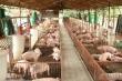 2,4 triệu con heo nguy cơ 'mắc kẹt' vì COVID-19, Sở Nông nghiệp Đồng Nai nói gì?