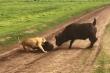 Video: Trâu rừng mẹ bất lực nhìn sư tử ăn thịt con sau khi chống trả quyết liệt