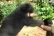 Kinh hoàng những vụ gấu tấn công người trong vườn nhà 'đại gia'