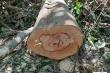 Khởi tố vụ phá rừng phòng hộ Sông Tranh ở Quảng Nam