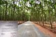 Lùm xùm con đường 'mặc kệ' nhà dân đi vào rừng cao su ở Bình Phước: Tin mới nhất