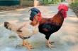 Giống gà Mía số 1- Dabaco: Tối ưu hiệu quả cho người chăn nuôi