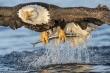 Đại bàng phi thân xuống nước với tốc độ 'tên lửa', săn mồi ngoạn mục