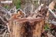 Vì sao hàng triệu mét vuông rừng ở Đắk Nông bị 'cạo trọc' ?