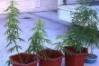 Bắt 'con nghiện' trồng cần sa tại nhà để sử dụng