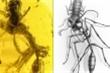 Kiến tấn công con mồi chết cứng trong khối hổ phách 99 triệu năm