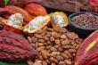 Ứng dụng khoa học sản xuất sô-cô-la thành phẩm và bột cacao quy mô công nghiệp