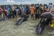 Video: 49 con cá voi chết trên bờ biển Indonesia