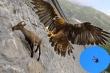Video: Hãi hùng đại bàng khổng lồ thả dê núi rơi tự do xuống vách núi