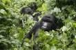Khỉ đột núi có nguy cơ nhiễm Covid-19