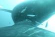 Thước phim hiếm có ghi lại cảnh cá voi lưng gù cho con bú