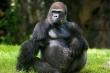 King Kong trong phim Holywood: Liệu có tồn tại khỉ đột lớn đến vậy?
