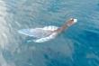 Đồn đoán sinh vật lạ ở Phú Quý là cá cảnh báo sóng thần: Ngư dân khẳng định gặp thường xuyên