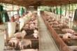 Đàn heo hàng triệu con ở Đồng Nai đang 'mắc kẹt' không tiêu thụ được