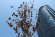 Công ty Công viên cây xanh Hà Nội: 'Phong lá đỏ chết là chuyện bình thường'