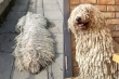 Sở hữu bộ lông y hệt giẻ lau nhà, chú chó bỗng nổi tiếng rần rần trên mạng