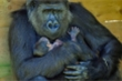 Khỉ đột Gorilla quý hiếm ôm chặt con sau khi sinh ở sở thú Anh