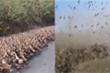 Video: Trung Quốc tung 'đội quân vịt' bảo vệ biên giới khỏi nạn châu chấu