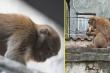 Vì sao không bắt được hai con khỉ hoang quậy phá khu dân cư ở Hà Nội?