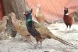 Chàng trai bỏ việc văn phòng nuôi chim trĩ thu gần 6 tỷ đồng mỗi năm