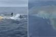 Cặp cá mập trắng dằn mặt ngư dân, thảnh thơi rỉa xác cá voi