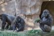 Nhân viên sở thú lây COVID-19 cho đàn khỉ đột
