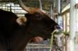 Đàn bò tót lai bị bỏ đói, gầy trơ xương ở Ninh Thuận giờ thế nào?