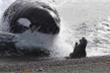 Clip: Sư tử biển bị cá voi truy sát nghiệt ngã