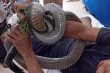 Bị rắn hổ mang chúa cắn, người đàn ông ở Tây Ninh đem cả 'thủ phạm' đi cấp cứu