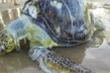 Rùa biển ăn nhựa vì nhầm với mùi thức ăn