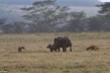 Video: Tê giác mẹ bảo vệ con khi linh cẩu tấn công