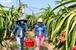 Nông sản rớt giá 'mua không tiêu chuẩn, bán không hợp đồng'