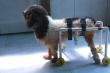Cô gái chế xe lăn cho chó, mèo khuyết tật bị bỏ rơi ở TP.HCM