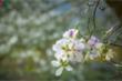 Ngây ngất mùa hoa ban nở ở Điện Biên