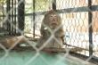 Video: Đàn khỉ quậy phá, trộm thức ăn trong khu dân cư TP.HCM giờ ra sao?