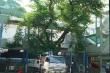 Lộ thân rỗng, rễ mục của cây phượng còn lại ở trường THCS Bạch Đằng