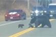 Video: Gấu mẹ vất vả dỗ dành đàn gấu con không chịu qua đường