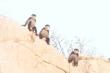 Xuất hiện đàn  voọc quý ở rừng ven biển Ninh Thuận